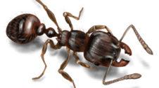 चींटा